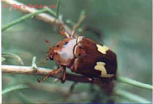 Антия (Anthia mannerheimi)