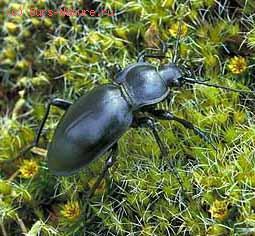 Жужелица выпуклая (Carabus glabratus)