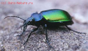 Красотел пахучий (Calosoma sycophanta)
