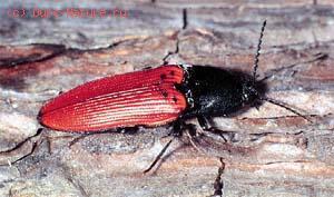 Щелкун краснокрылый (Ampedus sanguineus)