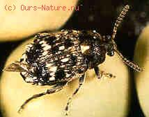 Зерновка гороховая (Bruchus pisorum)