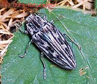 Златка сосновая большая (Buprestis mariana)