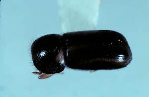 Древесинник хвойный (Trypodendron lineatum)