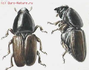 Заболонник ильмовый большой (Scolytus scolytus)