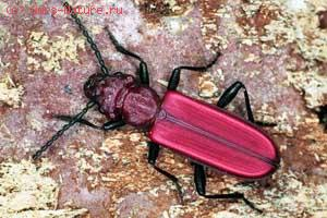 Плоскотел красный (Cucujus haematodes)