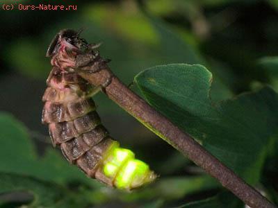 Светляк большой (Lampyris noctiluca)