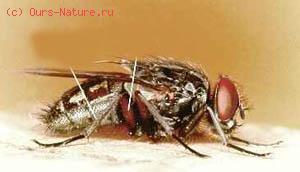 Муха домовая (Muscina stabulans)
