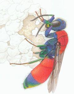 Блестянка зеленоватая (Chrysis viridula)