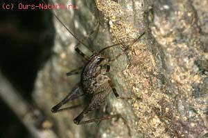 Кузнечик пещерный дальневосточный (Diestrammena unicolor)