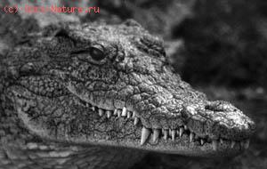 Крокодил нильский (Crocodylus niloticus)