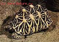 Черепаха звёздчатая (Testudo elegans)