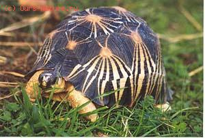 Черепаха лучистая мадагаскарская (Geochelone radiata)