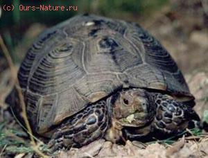 Черепаха окаймлённая (Testudo marginata)
