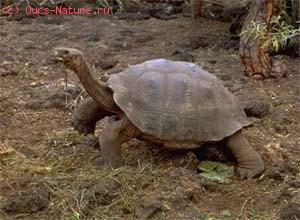 Черепаха слоновая (Testudo elephantopus)