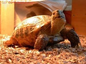 Черепаха среднеазиатская (Testudo horsfieldi)