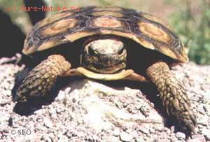 Черепаха эластичная (Malacochersus tornieri)