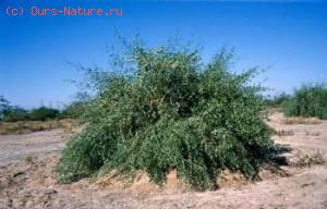 Сальвадора персидская (Salvadora persica)