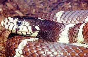 Змея коричневая сетчатая (Demansia  textilis)