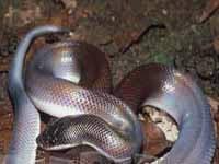 Змея двуцветная (Loxocemus bicolor)