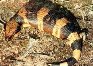 Ящерица исполинская чёрновисочная (Tiliqua occipitalis)