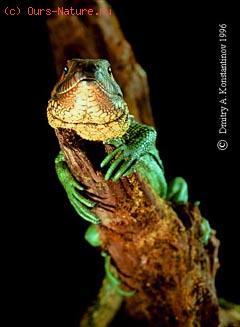 Ящерица каймановая (Dracaena guianensis)