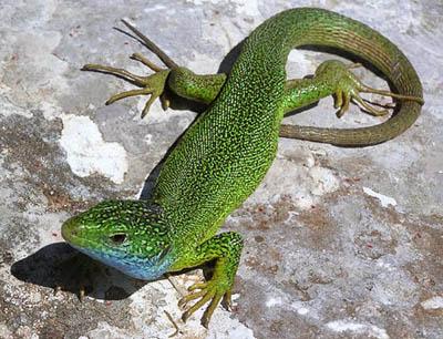 Ящерица зелёная (Lacerta viridis)