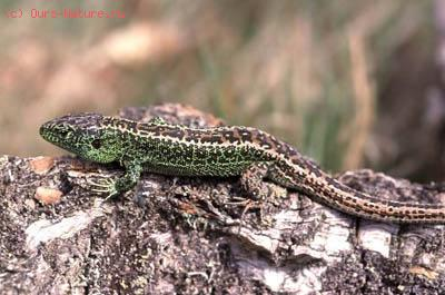 Ящерица прыткая (Lacerta agilis)