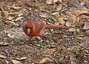 Кардинал виргинский красный (Cardinalis virginianus)
