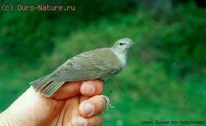 Мухоловка малая (Muscicapa parva)