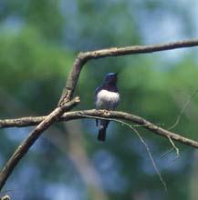 Мухоловка синяя (Muscicapa cyanomelana)