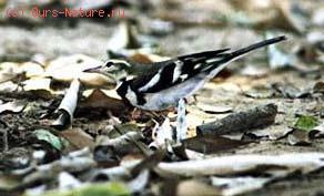 Трясогузка древесная (Dendronanthus indicus)