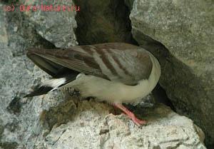 Голубь белогрудый (Columba leuconota)