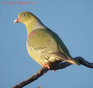 Голубь зелёный (Treron sieboldii)