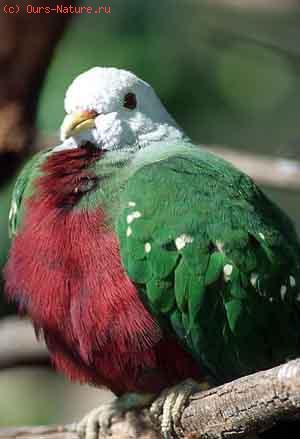 Голубь попугайный (Vinago walia)