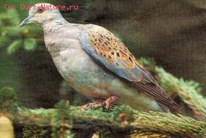 Горлица (Streptopelia turtur)
