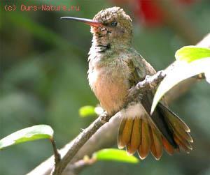 Колибри изумрудный (Сhlorostilbon aureoventris)