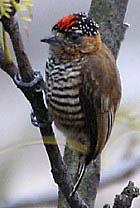 Дятелок бразильский (Picumnus rufiventris)