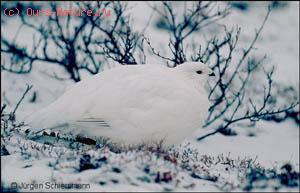 Куропатка белая (Lagopus lagopus)