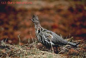 Рябчик воротничковый (Bonasa umbellus)