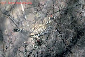 Рябчик северцева (Bonasa sewerzowi)