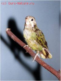 Попугай малый карликовый (Micropsitta pusio)