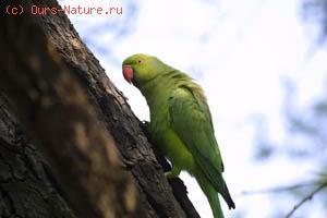 Попугай ожереловый (Psittacula krameri)