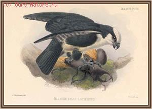 Сокол-крошка (Microhierax latifrons)