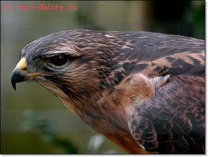 Курганник (Buteo rufinus)