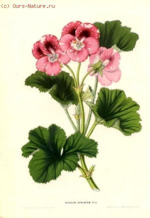 Пеларгониум розовый (Pelargonium roseum)