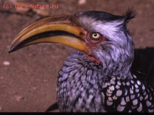 Птицы-носороги (Bucerotidae)