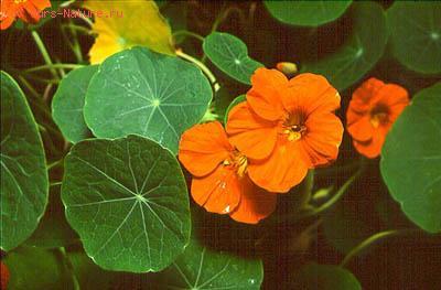Настурциевые (Tropaeolaceae)