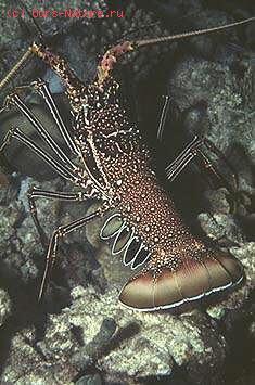 Панцирные (Palinuridae)