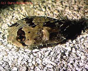 Рыбы-ежи (Diodontidae)