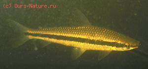 Аностомовые (Anostomida)